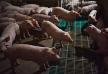 Photo of China study warns of possible new 'pandemic virus' from pigs