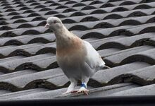 Photo of Australia to kill pigeon that crossed the Pacific from US state of Oregon