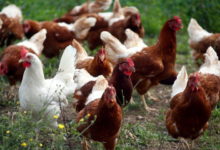 Photo of Russia detects first case of H5N8 avian flu in humans