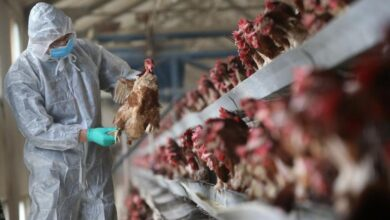 Photo of China confirms first human case of bird flu strain, says risk of spreading is low